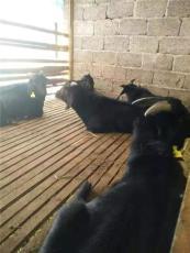 努比山羊的营养需要