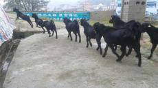 努比亚黑山羊的正常繁殖生理指标