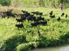 黑山羊的价格以及市场前景