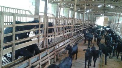黑山羊的價格以及市場前景