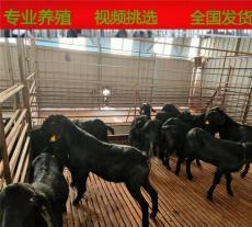 努比亚黑山羊养殖的前景到底好不好
