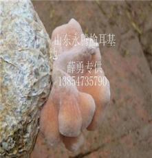 薛勇榆耳独家出售、永腾榆耳(图)、销售胶韧革菌 供应榆耳