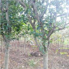 直銷珠穆朗瑪海棠樹苗4公分珠穆朗瑪海棠