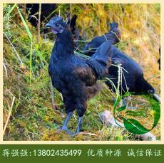 广东绿壳蛋鸡苗孵化场-全年批发五黑鸡苗