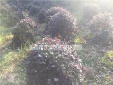 重庆供应大量红花继木球 小苗