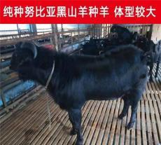 农村养殖黑山羊怎么提高产量