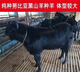 農村養殖黑山羊怎么提高產量
