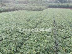 重庆供应大批量花椒小苗 一手货源