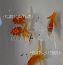 红鎏金 徐州金鱼 观赏鱼 新品上市 批发
