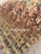 今年秋火焰美國紅楓出售價格便宜 浙江秋火焰紅梅紅楓便宜的很