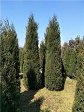 現大量優惠出售蜀檜,龍柏,紅葉石楠