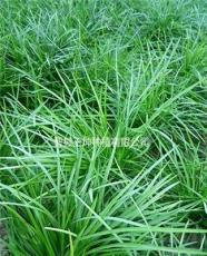 麦冬草报价绿化苗木价格麦冬草价格麦冬草价格查询
