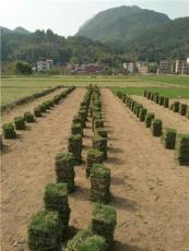 長沙草坪、寧鄉草皮、綠化草皮卷草塊