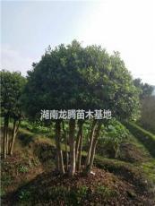大楊梅樹價格、楊梅樹圖片 大量批發楊梅樹