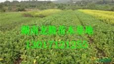 湖南梔子供應 廣玉蘭、香樟樹、 杜英、桂花