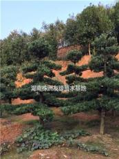 供应罗汉松-湖南罗汉松-怎样提高罗汉松种植成活率-异型罗汉松