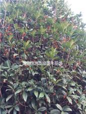 湖南丹桂价格、10-20公分精品丹桂、湖南丹桂小苗、丹桂销售