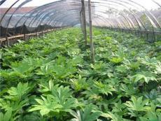八角金盆苗、八角金盆、迎春、常青藤