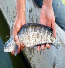 全国最优价大量供应鄱阳湖优质食用药材级黑鱼(乌鱼)