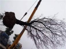 30公分樸樹價格/33公分野生樸樹圖片/南京創新樸樹價格