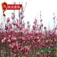 南京香樟15公分價格 18公分,20公分價格,苗圃直銷