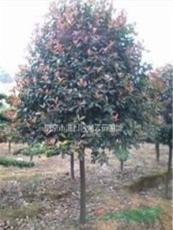 湯泉提供2米-4米冠紅葉石楠球低價供應