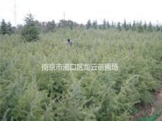 南京湯泉提供6米雪松價格 南京白云苗圃