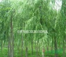 供應南京湯泉5公分10公分垂柳價格 大量銷售