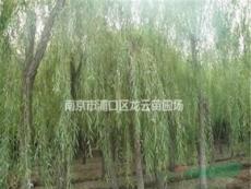 浙江5公分 10公分 12公分垂柳大量供應 精品垂柳基地