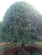 广西桂花树病虫如何防治
