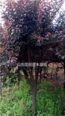 大量供應優質紫葉李 紅葉李 5-25公分紫葉李 紅葉李基地