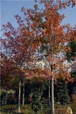 纳塔栎图片3