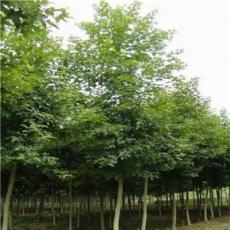 沭陽常年供應優質楓香、規格齊全。批發低價 苗圃直銷