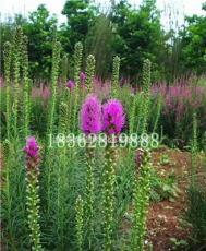 供應蛇鞭菊 蛇鞭菊小苗 蛇鞭菊價格 優質地被植物批發