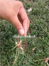 麥冬草 地被植物 細葉麥冬草 矮化麥冬草園林綠化小區綠化