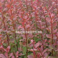 苗圃供应各种红叶小檗  红叶小檗价格  庭院绿化工程苗木