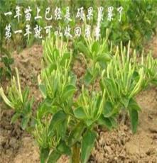 安國市元泰種子經營部(在線咨詢),重慶金銀花,金銀花種植