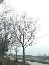 江苏地区供应一批25-32公分朴树,树形优美