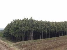 常年銷售蜀檜 龍柏 桂花 紅葉石楠等各類綠化苗木