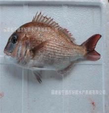 寧德 水產養殖海鮮 批發 冰鮮/冷凍 優質真鯛 400-500g