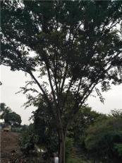 江蘇常熟大量供貨櫸樹樸樹10——50公分櫸樹樸樹