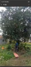 江蘇省蘇州市供應精品樸樹-高度30的精品樸樹-有大量現貨到貨