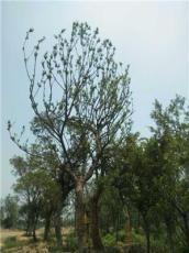 櫸樹大規格圖片展示/實地拍攝