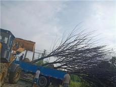 江蘇地區櫸樹基地有各種規格