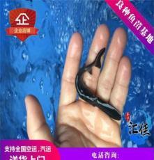 广州鸭嘴鱼种苗批发,匙吻鲟鱼,鸭嘴鱼苗全国空运发货