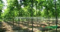 10-15公分紅櫸樹低價批發,*新江蘇紅櫸樹報價