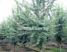 河南许昌鄢陵供应 红瑞木、三角枫、枫杨、