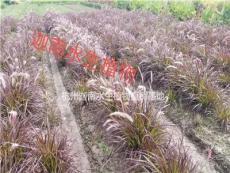 观赏草紫叶狼尾草