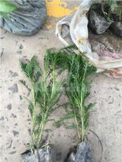 大量供应黄金菊盆栽苗