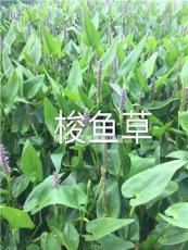 精品水生梭魚草/優質梭魚草行情/杭州梭魚草報價